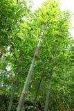 Árbol de bambú Imagen de archivo