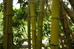 Árbol de bambú Fotos de archivo libres de regalías