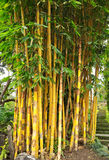 Árbol de bambú amarillo Imagen de archivo
