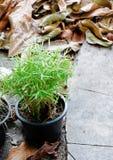 Árbol de bambú en la maceta Imagenes de archivo