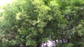 Árbol de bambú Forest Blowing en la tormenta del viento y de la lluvia abstraiga el fondo almacen de metraje de vídeo
