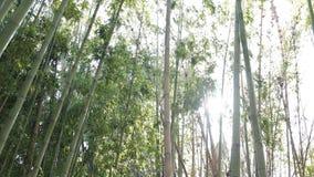 Árbol de bambú 4K metrajes