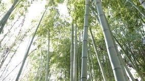 Árbol de bambú 4K almacen de metraje de vídeo
