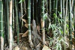 Árbol de bambú verde Fotos de archivo
