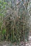 Árbol de bambú verde Fotos de archivo libres de regalías