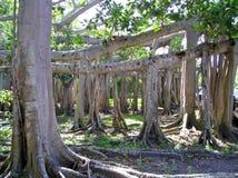 Árbol de Banyan Foto de archivo libre de regalías