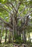 Árbol de Banyan imagen de archivo libre de regalías