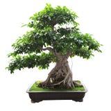 Árbol de banyan de los bonsais Foto de archivo libre de regalías