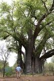 Árbol de Baoba Imágenes de archivo libres de regalías