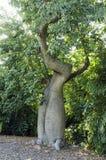 Árbol de Baoba Foto de archivo libre de regalías