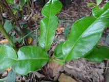 Árbol de bergamota Fotografía de archivo libre de regalías