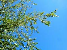 Árbol de Betula del abedul contra el cielo azul brillante Imagenes de archivo