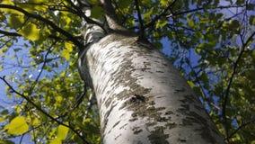 Árbol de Betula del abedul que florece después de lluvia en primavera en Liberty State Park en Jersey City, NJ Fotos de archivo libres de regalías
