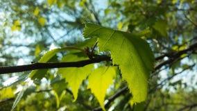 Árbol de Betula del abedul que florece después de lluvia en primavera en Liberty State Park en Jersey City, NJ Imagenes de archivo