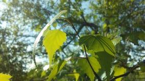 Árbol de Betula del abedul que florece después de lluvia en primavera en Liberty State Park en Jersey City, NJ Foto de archivo