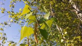 Árbol de Betula del abedul que florece después de lluvia en primavera en Liberty State Park en Jersey City, NJ Fotografía de archivo