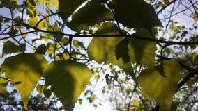 Árbol de Betula del abedul que florece después de lluvia en primavera en Liberty State Park en Jersey City, NJ Imagen de archivo libre de regalías