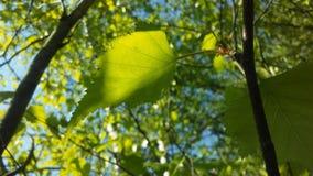 Árbol de Betula del abedul que florece después de lluvia en primavera en Liberty State Park en Jersey City, NJ Imagen de archivo