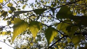 Árbol de Betula del abedul que florece después de lluvia en primavera en Liberty State Park en Jersey City, NJ Fotografía de archivo libre de regalías
