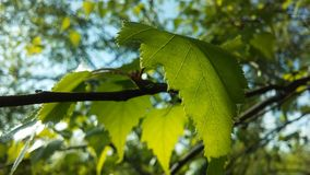 Árbol de Betula del abedul que florece después de lluvia en primavera en Liberty State Park en Jersey City, NJ Fotos de archivo