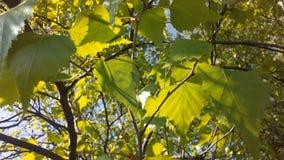 Árbol de Betula del abedul que florece después de lluvia en primavera en Liberty State Park en Jersey City, NJ Imágenes de archivo libres de regalías