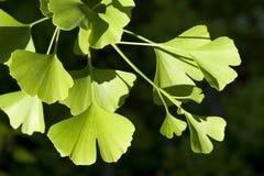 Árbol de Biloba del Ginkgo Fotos de archivo libres de regalías