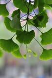 Árbol de Biloba del Ginkgo Imágenes de archivo libres de regalías