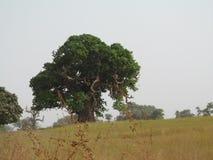 Árbol de Boabob en folage Imágenes de archivo libres de regalías