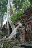 Árbol de Boddha Fotos de archivo libres de regalías
