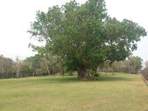 Árbol de Bodhi Imagen de archivo libre de regalías