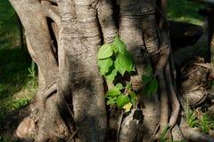 Árbol de Bodhi Fotos de archivo