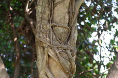 Árbol de Bodhi Foto de archivo