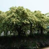 Árbol de Bodhi Fotografía de archivo libre de regalías