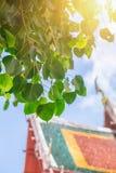 Árbol de Bodhi en lugar tailandés del templo Imágenes de archivo libres de regalías