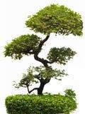 Árbol de Bonfai. Foto de archivo libre de regalías