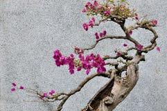 Árbol de Bonsail del bougainvillea Foto de archivo libre de regalías
