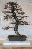 Árbol de Bonzai imagenes de archivo