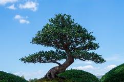Árbol de Bonzai Fotos de archivo