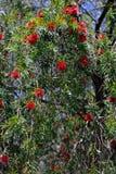 Árbol de Bottebrush Fotografía de archivo libre de regalías