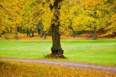 Árbol de cal Fotos de archivo libres de regalías