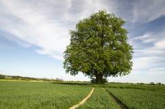 Árbol de cal fotografía de archivo libre de regalías