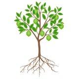 Árbol de cal con las frutas y las raíces en un fondo blanco ilustración del vector