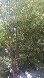 Árbol de cal de la naturaleza Fotografía de archivo