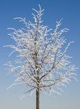 Árbol de cal del invierno Imágenes de archivo libres de regalías