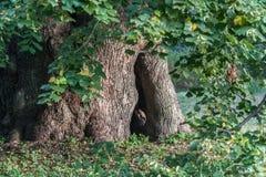 Árbol de cal muy viejo hermoso Foto de archivo libre de regalías
