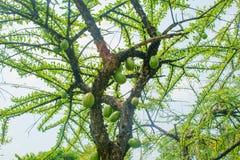 Árbol de Calabbash, calabaza, calabaza salvaje, cujete del Crescentia fotografía de archivo