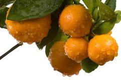 Árbol de Calamondin con la fruta y las hojas Imagen de archivo