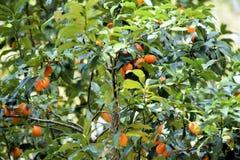 Árbol de caqui con la fruta de la familia del Ebenaceae Imágenes de archivo libres de regalías