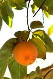 Árbol de caqui con las frutas anaranjadas maduras en el jardín del otoño foto de archivo