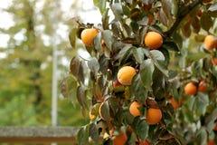 Árbol de caqui con las frutas anaranjadas maduras en el jardín del otoño imagenes de archivo